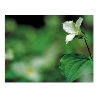 Carte Postale Trillium blanc