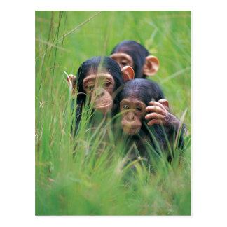 Carte Postale Trois jeunes chimpanzés (troglodytes de casserole)