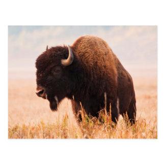 Carte Postale Troupeau de bison américain (bison de bison) dans