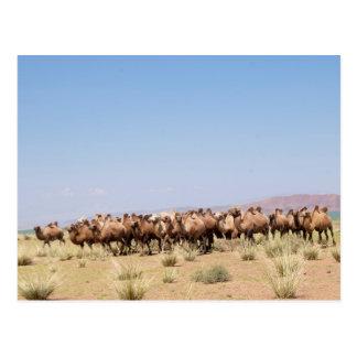 Carte Postale Troupeau de chameaux Bactrian