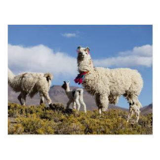 Carte Postale Troupeau décoré de lama dans le Puna, montagnes 3