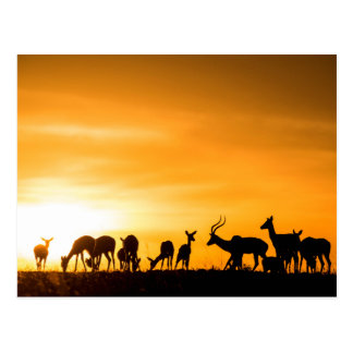 Carte Postale Troupeau d'impala au coucher du soleil