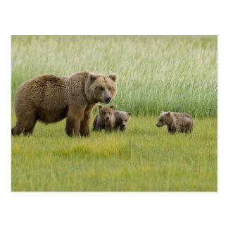 Carte Postale Truie d'Alaska et trois CUB, Ursus d'ours de Brown