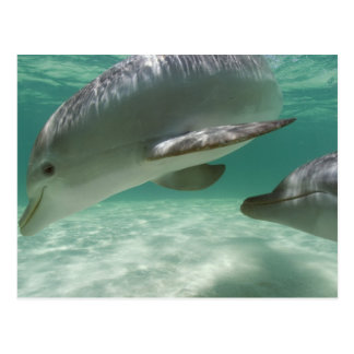 Carte Postale Truncatus de Tursiops de dauphins de Bottlenose)