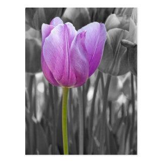 Carte Postale Tulipe pourpre de ressort sur noir et blanc