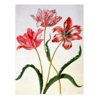 Carte Postale Tulipes