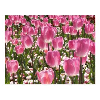 Carte Postale Tulipes de Canberra