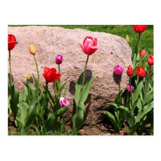 Carte Postale Tulipes de floraison