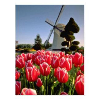 Carte Postale Tulipes et fleurs rouges rouges de moulin à vent