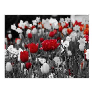 Carte Postale Tulipes rouges contre noir et blanc