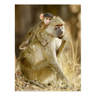 Carte Postale Un babouin jaune infantile (Papio