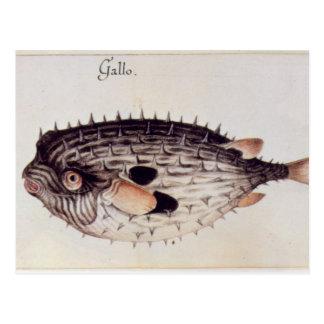 Carte Postale Un Burrfish