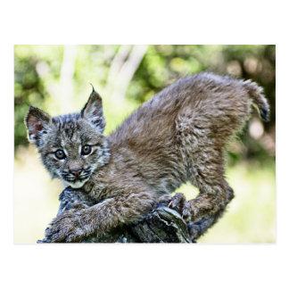 Carte Postale Un chaton espiègle de Lynx de Canadien