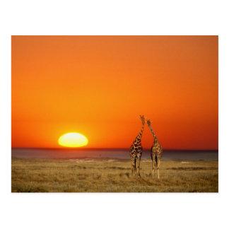 Carte Postale Un couple de girafe entre dans le coucher du