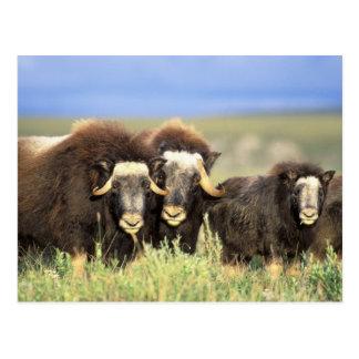 Carte Postale Un groupe de muskoxen passent en revue sur des