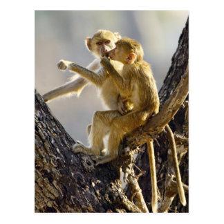 Carte Postale Un jeune babouin jaune (cynocephalus de Papio)