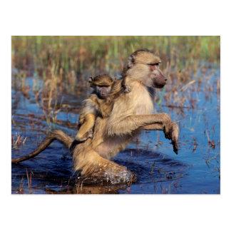 Carte Postale Un jeune de transport de babouin de Chacma par une
