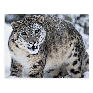 Carte Postale Un léopard de neige fâché