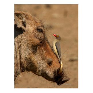 Carte Postale Un Oxpecker sur un museau de warthogs,
