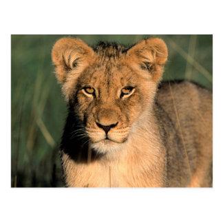 Carte Postale Un petit animal de lion observe l'appareil-photo