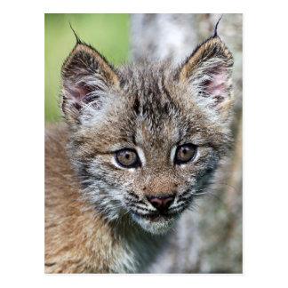 Carte Postale Un petit chaton mignon de Lynx de Canadien