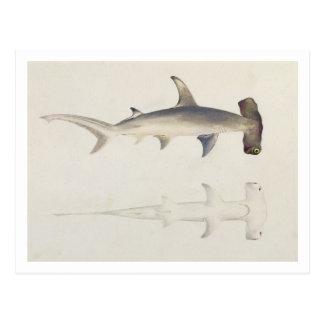 Carte Postale Un requin Marteau-dirigé, Loheia, autrefois