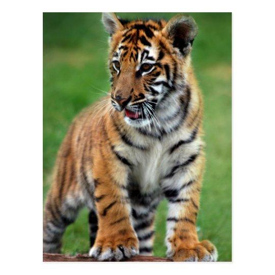 Carte postale un tigre de b b mignon - Bebe tigre mignon ...