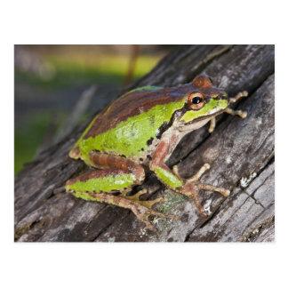 Carte Postale Un treefrog Pacifique été perché sur un rondin