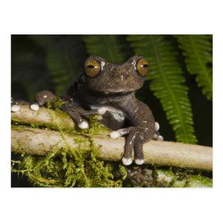 Carte Postale Une grenouille d'arbre captive de Tapichalaca