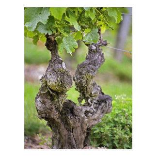 Carte Postale Une vigne très vieille dans le vignoble de Clos de