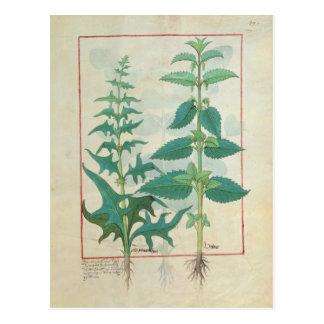 Carte Postale Urticaceae
