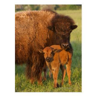 Carte Postale Vache à bison américain et veau, le Dakota du Nord