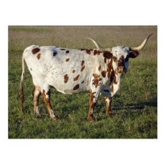 Carte Postale Vache au Texas Longhorn