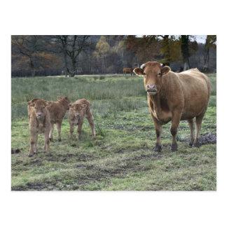 Carte Postale Vache et veaux du Limousin