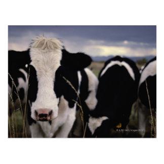 Carte Postale Vaches 3