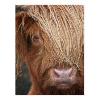 Carte Postale Vaches des montagnes écossaises - Ecosse