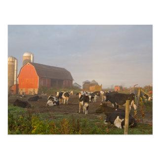 Carte Postale Vaches laitières du Holstein en dehors d'une