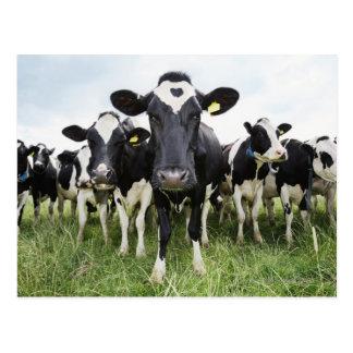 Carte Postale Vaches se tenant dans une rangée regardant