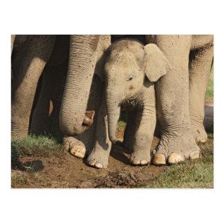 Carte Postale Veau d'éléphant d'Asie, parc national de Corbett,