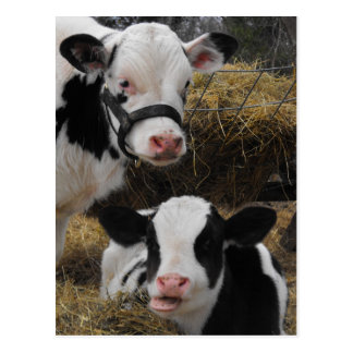 Carte Postale Veaux du Holstein