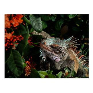 Carte postale vibrante d'iguane, Îles Vierges