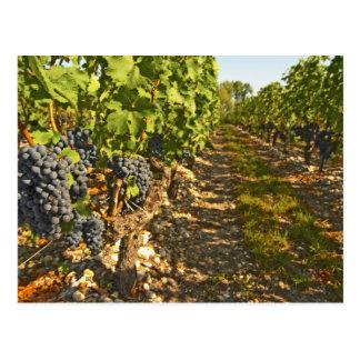Carte Postale Vignes Cabernet sauvignon dans une rangée dans