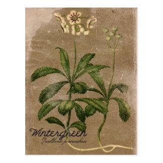 Carte postale vintage d'usine de gaulthérie de