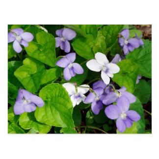Carte Postale Violettes pourpres et blanches
