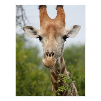 Carte Postale Visage de girafe