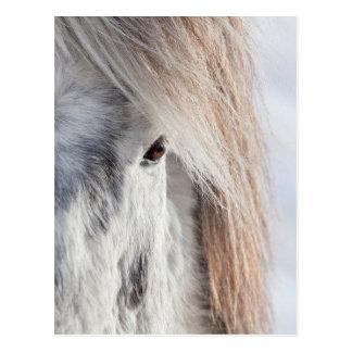 Carte Postale Visage islandais blanc de cheval, Islande