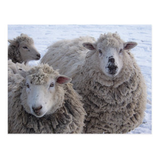 Carte Postale Visages de moutons de janvier deux