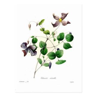 Carte Postale Viticella de clématite