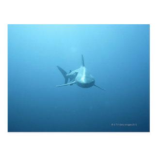 Carte Postale Vue de face d'un requin de tigre