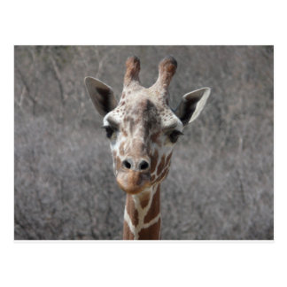 Carte Postale vue de face principale de girafe
